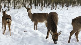 A herd of Sika deer stock video