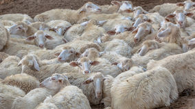 Herd of Sleeping Sheep Background Royalty Free Stock Image