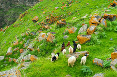 The herd on the slope. The small herd of goats grazes on the slope among the bright yellow boulders, covered with lichen, Saro, Georgia Royalty Free Stock Images