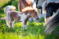 Herd of small cute horses in pasture Royalty Free Stock Photo