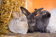 Herd of small gray bunnies in the hutch with hay Stock Photos