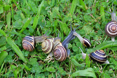 Herd of snails walking on the grass royalty free stock photo