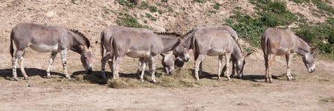 Herd of Somali wild asses Royalty Free Stock Image