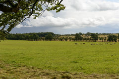 Herd in Somerset countryside. Landscape of the gorgeous countryside with meadows and trees and a herd pasturing in bright light and cloudy sky stock image