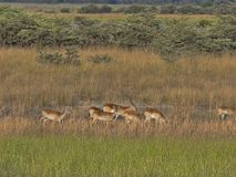 Herd Southern lechwe, Kobus leche, in tall grass, at Lake Horseshoe in Bwabwata, Namibia. The Herd Southern lechwe, Kobus leche, in tall grass, at Lake Horseshoe royalty free stock photography