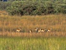 Herd Southern lechwe, Kobus leche, in tall grass, at Lake Horseshoe in Bwabwata, Namibia. The Herd Southern lechwe, Kobus leche, in tall grass, at Lake Horseshoe royalty free stock photos