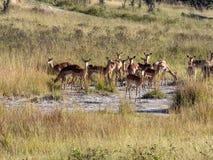 Herd Southern lechwe, Kobus leche, in tall grass, at Lake Horseshoe in Bwabwata, Namibia royalty free stock image