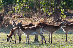 Herd southern lechwe in Okavango, Botswana, Africa. Herd of lechwe Kobus leche, or southern lechwe, Moremi game reserve, Okavango delta, Botswana, Africa safari royalty free stock photography