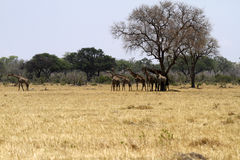 Herd of Southern Reticulated Giraffes Royalty Free Stock Photos