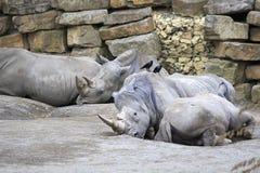 Herd of Southern White Rhinoceros. Stock Photo