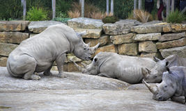 Herd of Southern White Rhinoceros. Royalty Free Stock Photography