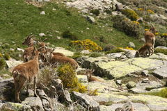 Herd of Spanish Ibex Stock Images