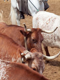 Herd of spanish red cow closeup. Spain, Andalusia Royalty Free Stock Photo