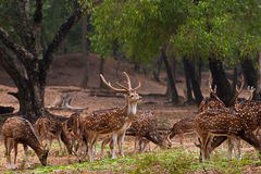 Herd of spotted deer. A herd of spotted deer(Chital) foraging on fresh green grass in a forest Royalty Free Stock Photography