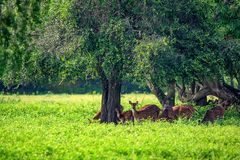 A herd of spotted deer or Axis foraging. A herd of spotted deer or Axis graze on fresh green grass in a forest Royalty Free Stock Photos
