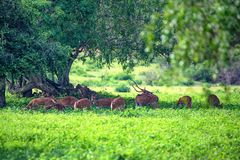 A herd of spotted deer or Axis foraging. A herd of spotted deer or Axis graze on fresh green grass in a forest Royalty Free Stock Photo