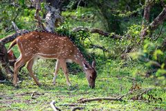 A herd of spotted deer or Axis foraging. A herd of spotted deer or Axis graze on fresh green grass in a forest Stock Photography