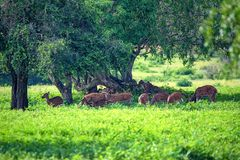 A herd of spotted deer or Axis foraging. A herd of spotted deer or Axis graze on fresh green grass in a forest Stock Photos