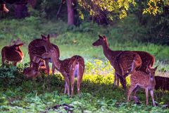 A herd of spotted deer or Axis foraging. A herd of spotted deer or Axis graze on fresh green grass in a forest Royalty Free Stock Image