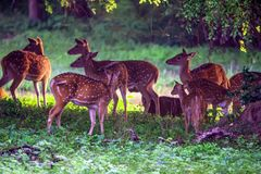 A herd of spotted deer or Axis foraging. A herd of spotted deer or Axis graze on fresh green grass in a forest Royalty Free Stock Images
