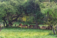 Herd of spotted deer or chital foraging in forest. Herd of spotted deer or chital known as Axis foraging in forest of Yala national park in Sri Lanka Stock Photography