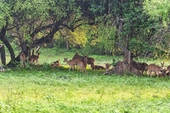 Herd of spotted deer or chital foraging in forest. Herd of spotted deer or chital known as Axis foraging in forest of Yala national park in Sri Lanka Royalty Free Stock Photo