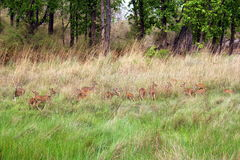 Herd of spotted deer in the forests of Bandhavgarh National Park India. The Axis axis Deer, also known as chital in India is a deer which commonly inhabits stock image