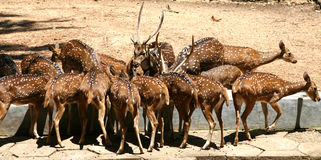 Herd of spotted deer in the park Royalty Free Stock Images