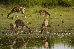Herd of spotted deers drinking water in the riverbank, Bardia, Nepal Royalty Free Stock Images