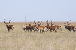 A herd of deer grazing in the steppe royalty free stock photography