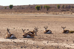 Herd of springbok, Africa safari wildlife. Resting herd of springbok in sunny day in dry Kgalagadi desert - Kalahari Transfontier park, South Africa safari Stock Photography