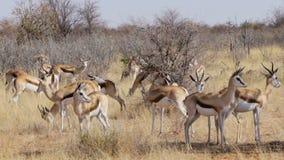 Herd of springbok, Africa safari wildlife stock video footage