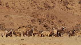 A herd of Springbok antelope at a watering hole in Namibian savanna royalty free stock images