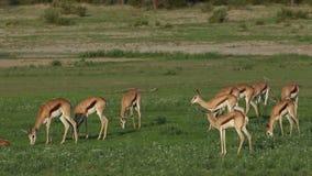 Feeding springbok antelopes stock footage