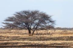 Herd of Springbok antelopes Royalty Free Stock Photo
