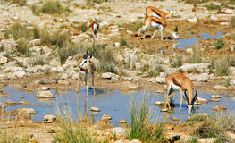 Herd of Springbok (Antidorcas Marsupialis) in Etosha. Antidorcas Marsupialis - Springbok next to a warerhole in Etosha National Park Royalty Free Stock Image