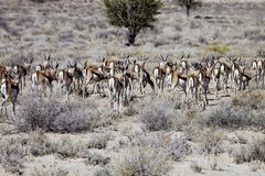 The herd of Springbok, Antidorcas marsupialis, Kalahari, South Africa Stock Images