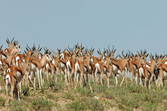 Herd of springbok antilopes Royalty Free Stock Photo