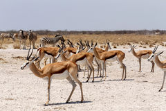 Herd of springbok in Etosha. National park, Namibia Stock Photos