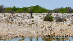 Herd of springbok go to drink Royalty Free Stock Image