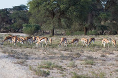 Herd of springbok grazing in the kalahari desert Royalty Free Stock Image