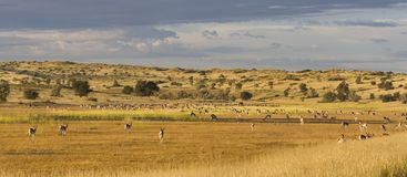 A herd of springbok grooming themselves after the rainstorm pass Stock Image