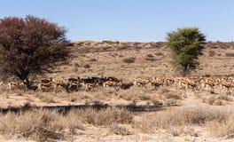 Herd of springbok hiding under a big acacia Royalty Free Stock Image