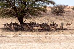 Herd of springbok hiding under a big acacia Royalty Free Stock Images