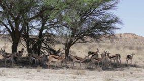 herd of springbok hiding under a big acacia stock video