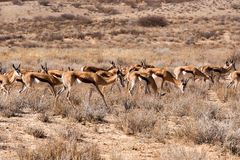 Herd of springbok Royalty Free Stock Images