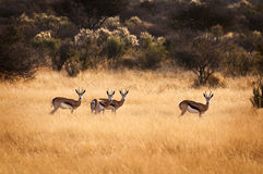 Herd of Springbok Royalty Free Stock Photos