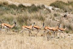 Herd of springbok namibia Royalty Free Stock Image