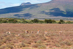 Herd of Springbok on a plain Royalty Free Stock Photography