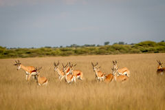 Herd of Springbok running in the grass. Royalty Free Stock Image
